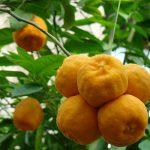 pomarancza-olejek-eteryczny-15ml