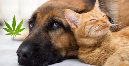 Olejek CBD dla psów i kotów