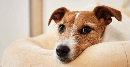 Produkty konopne a stres u psów